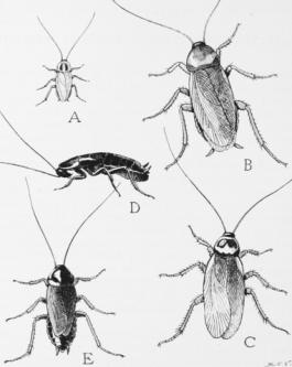 From Wikimedia Commons (Public Domain USDA image)