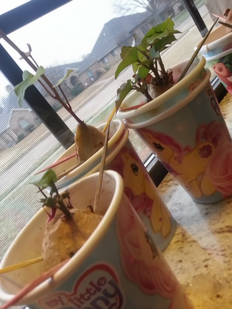 Three tiny sweet potato slips sprouting in party cups.